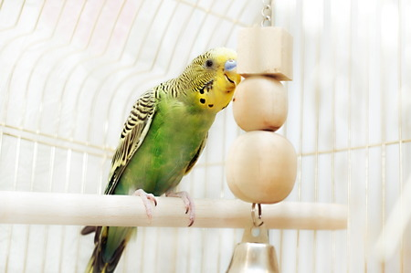 to remain dormant: Green domestic budgie sitting with his toy friend.