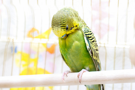 to remain dormant: Green domestic budgie