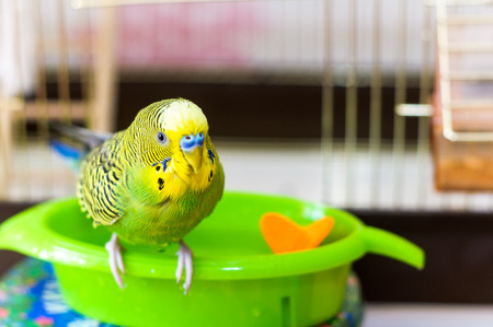 Budgerigar is wet after swimming