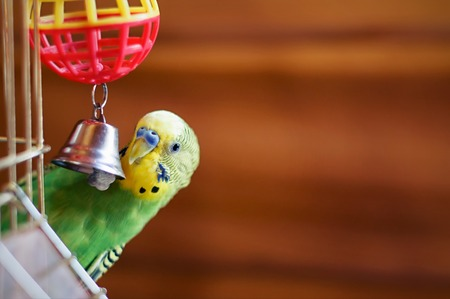 Domestic budgie sitting with his toy friend. Green Budgerigar Foto de archivo