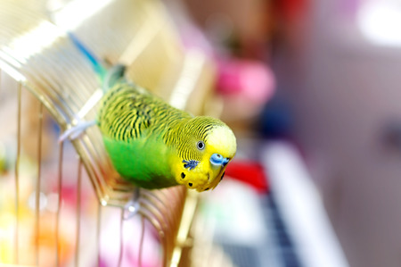 Budgerigar on the birdcage. Budgie
