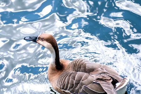 freshwater bird: Mallard duck Stock Photo