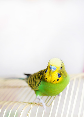 to remain dormant: Budgerigar on the birdcage. Budgie