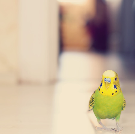 to remain dormant: Budgerigar parrot walking on the floor. Budgie Stock Photo