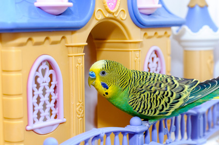 to remain dormant: Budgerigar on the birdcage. Budgie parrot sits on  toy castle Stock Photo
