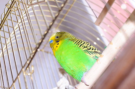to remain dormant: Budgerigar on the birdcage. Budgy