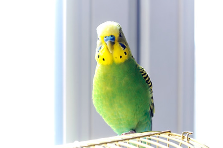 to remain dormant: Budgerigar on the birdcage. Budgie,  soft focus