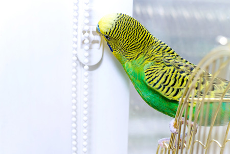 to remain dormant: Budgerigar on the birdcage. Budgie. Installation of plastic windows