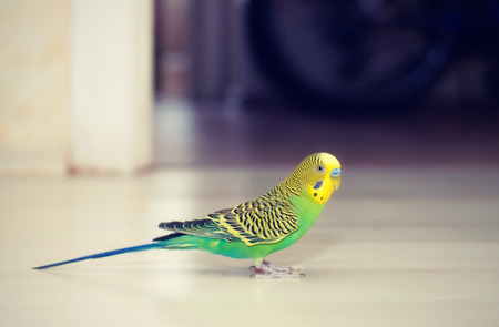 to remain dormant: Budgies walking on the floor
