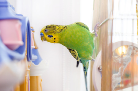 Funny budgerigar play on the birdcage. Budgie