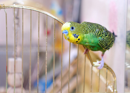 Green Budgerigar budgie on cage