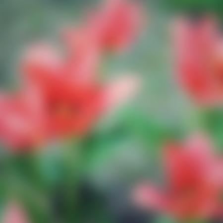 bluer: Beautiful tulips, blur natural background.