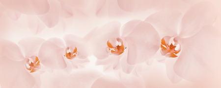 soft background: Orchids pink background, Banner delicate floral background Stock Photo