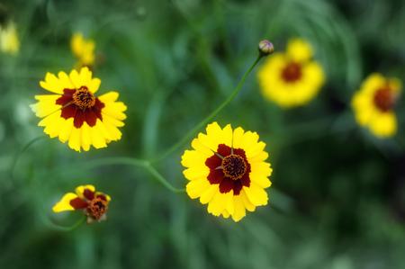 golden daisy: Yellow flowers chrysanthemum in garden golden daisy