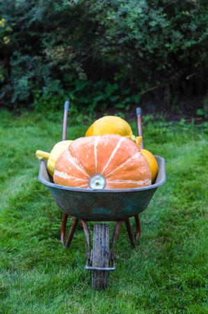 farm background: Pumpkins in fall garden