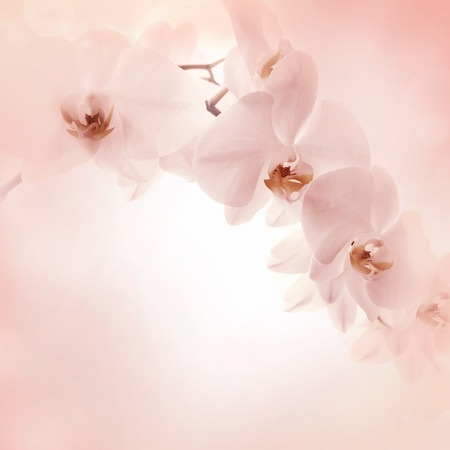 white orchids: Orchids pink background, Banner delicate floral background Stock Photo