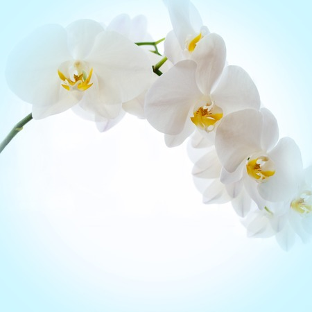 pink flower: Orchids blue background, Banner delicate floral background