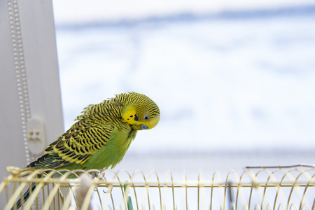 to remain dormant: Budgerigar on the birdcage. Budgie  parrot cleans its feathers