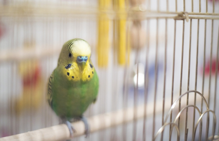 to remain dormant: Budgerigar in the birdcage.Soft focus. Budgie