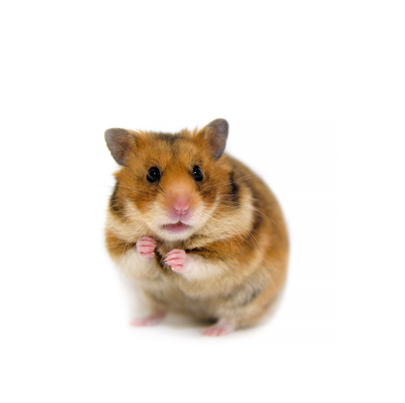 hamster isolated on a white background Stock Photo