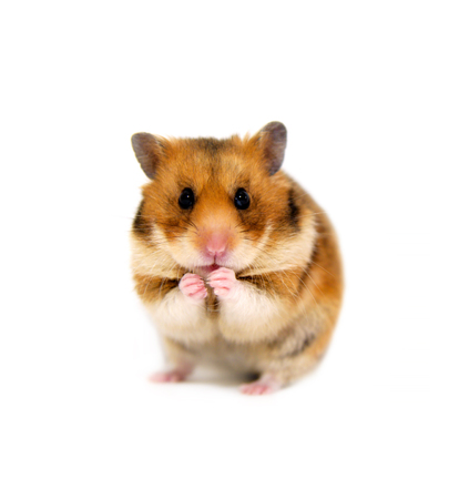 dwarf hamster: hamster isolated on a white background Stock Photo