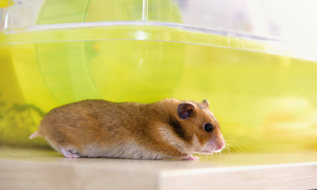 dwarf hamster: Red hamster runs near his cage
