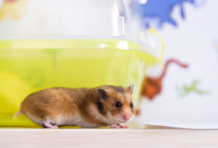 dwarf hamster: Red hamster runs near its cage Stock Photo