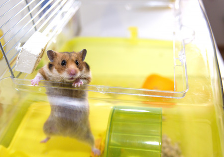 dwarf hamster: Red Hamster gets out of his cage