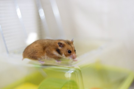 dwarf hamster: Funny golden syrian hamster gets out of his cage