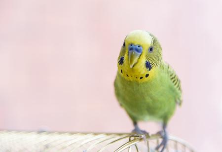 Drôle perruche sur la cage. Budgie vert