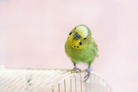 to remain dormant: Funny budgerigar on the birdcage. Green Budgie Stock Photo