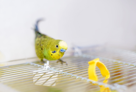 budgerigar: Funny budgerigar on the birdcage. Green Budgie Stock Photo