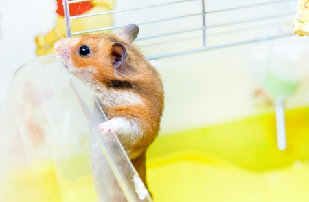 Funny Red Hamster gets out of his cage