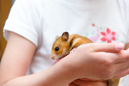 dwarf hamster: Red tame hamster in the hands of child Stock Photo