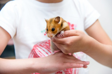 Red tame hamster in the hands of a child