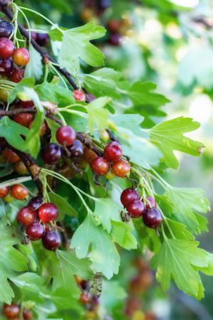 involving: The jostaberry is cross fruit bush involving the black currant, black gooseberry, European gooseberry. Stock Photo
