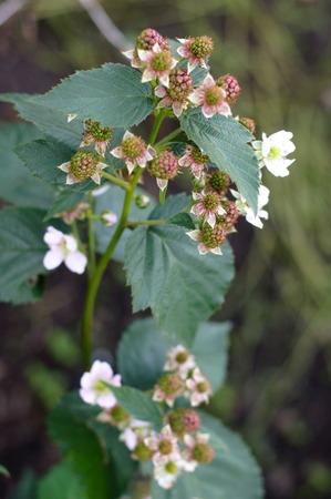 Blackberry Flower in a spring fruit garden