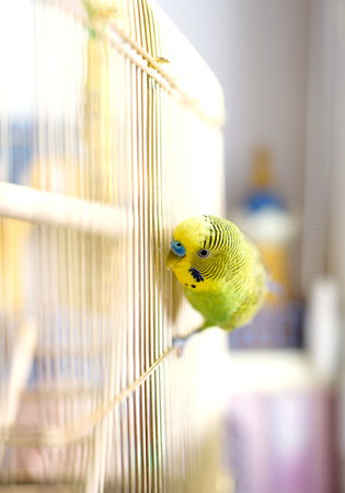 budgerigar: Green Budgerigar, domestic budgie, sitting on cage Stock Photo