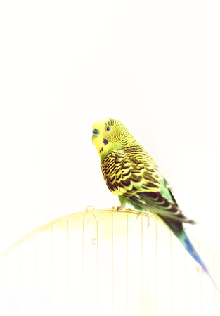 Green Budgerigar, domestic budgie, sitting on cage Stock Photo