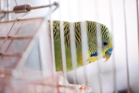 to remain dormant: Budgerigar in the cage. Budgie Stock Photo