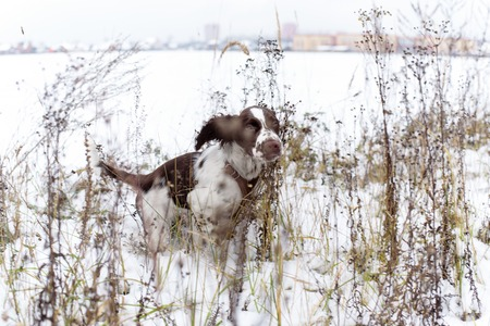 hunting dog: English Springer Spaniel cute puppy. Hunting dog Stock Photo