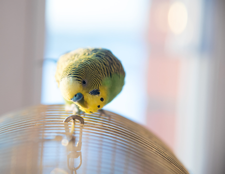 Green budgerigar parrot close up head portrait on blurred  background on cage
