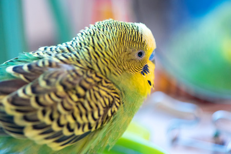 Green budgerigar parrot close up head portrait on blurred  background look in the mirror