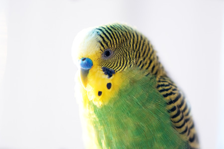 budgerigar: Green budgerigar parrot close up head portrait on blurred  background Stock Photo