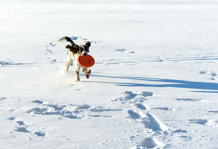The young Springer Spaniel  plays with a disk frisbee on snow field