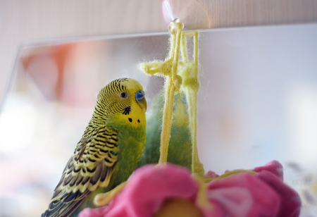 to remain dormant: Budgerigar close up on mirror. Budgie Stock Photo