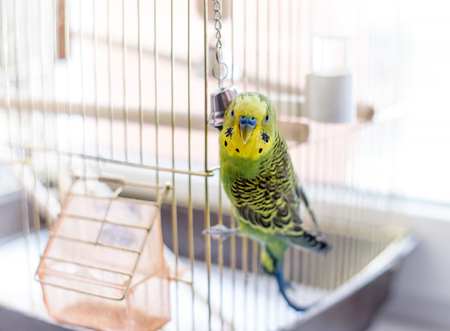 to remain dormant: Budgerigar close up on the bird cage. Budgie and bell Stock Photo