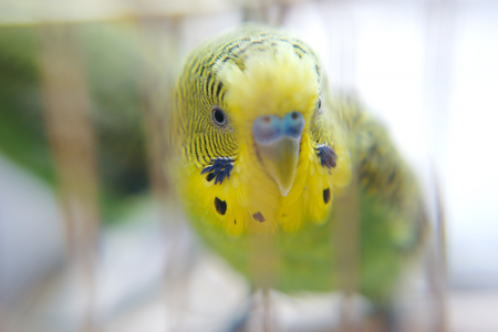 to remain dormant: Budgerigar close up in the bird cage. Budgie Stock Photo