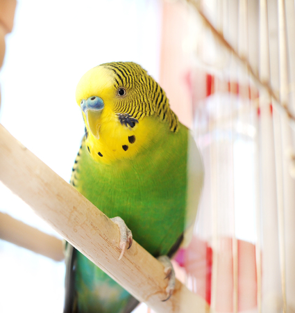to remain dormant: Budgerigar close up in the bird cage. Budgie close up photo. Stock Photo