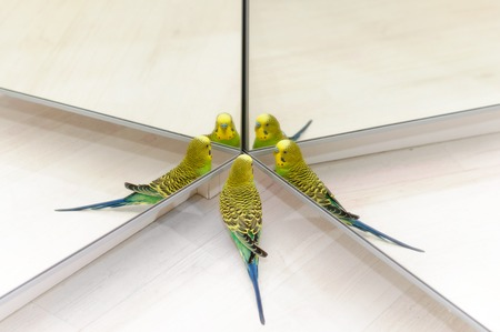 Budgerigar on floor. Budgie Look in the mirror on many reflections